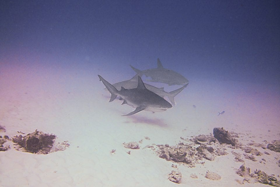 Group of bullsharks in Playa del Carmen