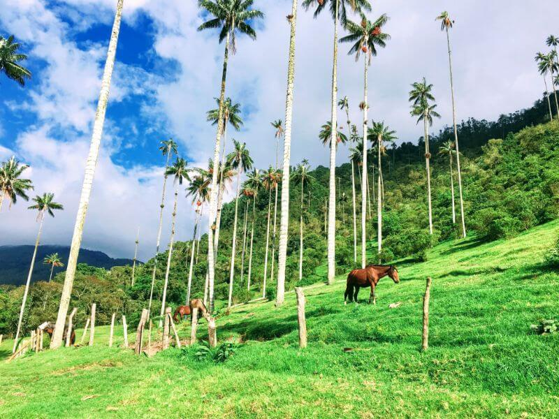 Horses and giant palm trees on Valle de Cocora hike