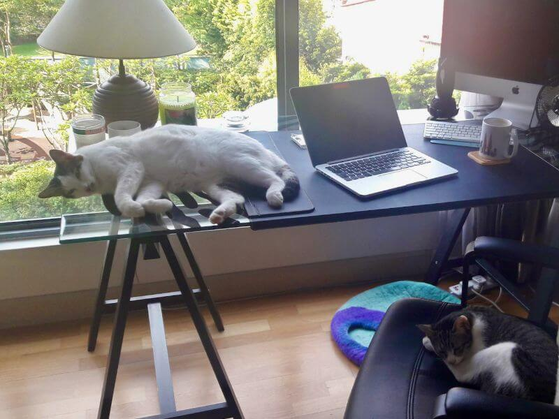 desk with cats laying on it showing what it's like to be a content writer while housesitting